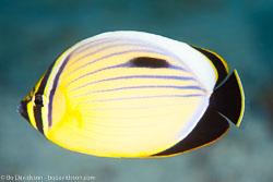 BD-131209-St-Johns-1025-Chaetodon-austriacus.-Rüppell.-1836-[Blacktail-butterflyfish].jpg
